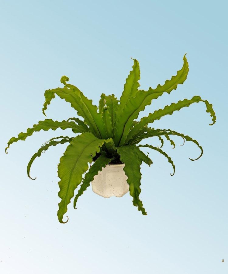 Asplenium osaka comprar en vivero online for Vivero plantas online