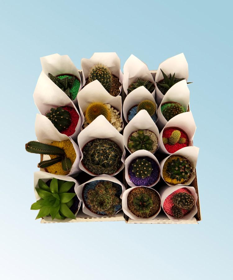 Cactus comprar en vivero online for Vivero plantas online