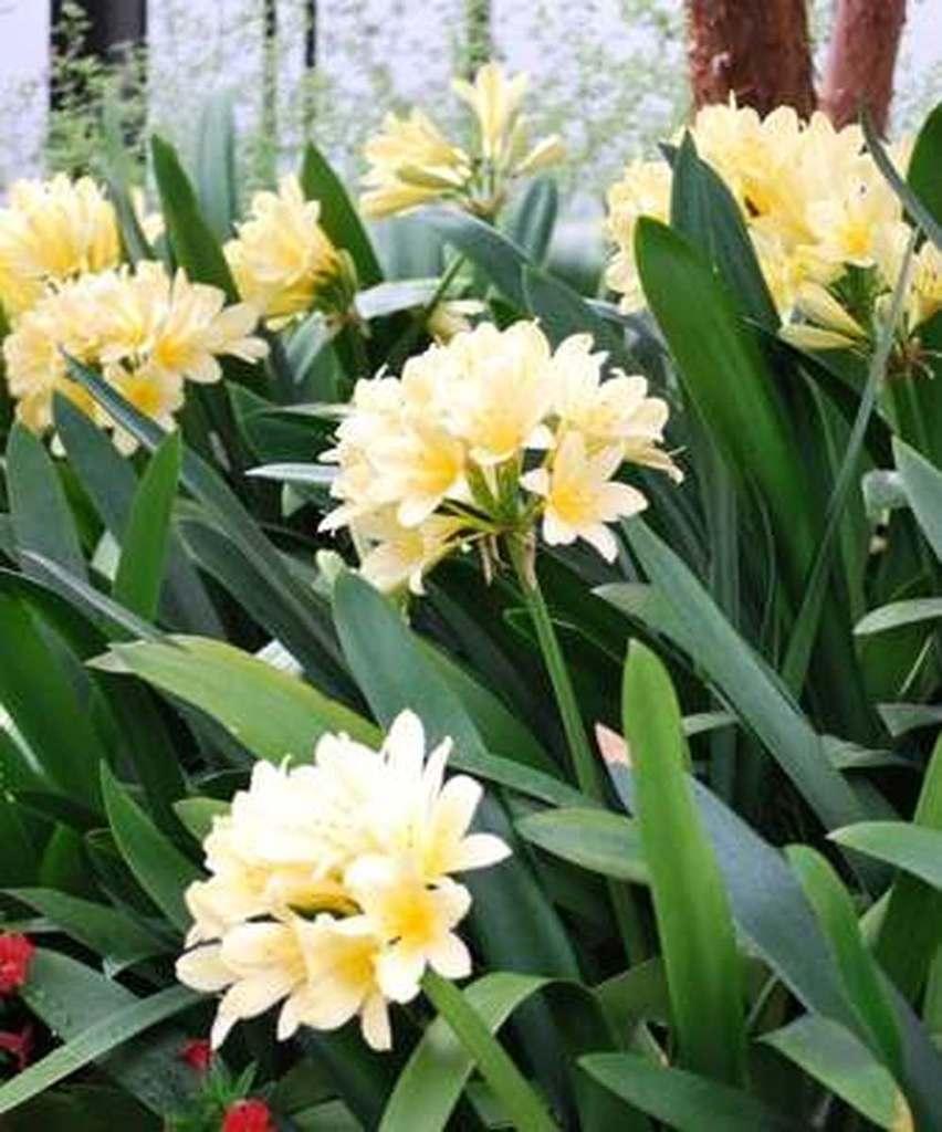 Clivia amarilla comprar en vivero online for Vivero plantas online