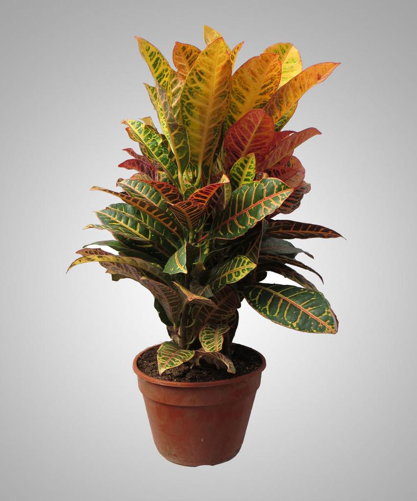 Croton petra comprar en vivero online for Vivero plantas online