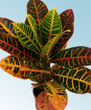 Croton petra comprar en vivero online for Plantas de interior online