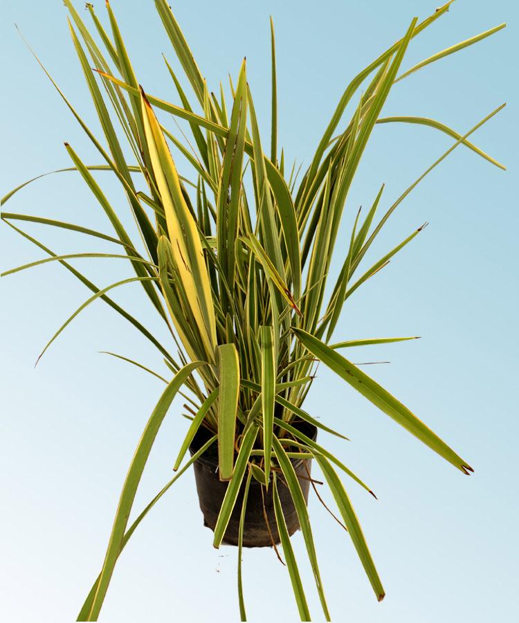 Formio variegado comprar en vivero online for Vivero plantas online