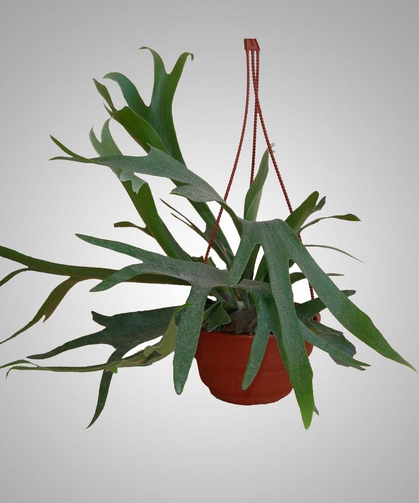 Platycerium cuerno de alce comprar en vivero online for Vivero plantas online