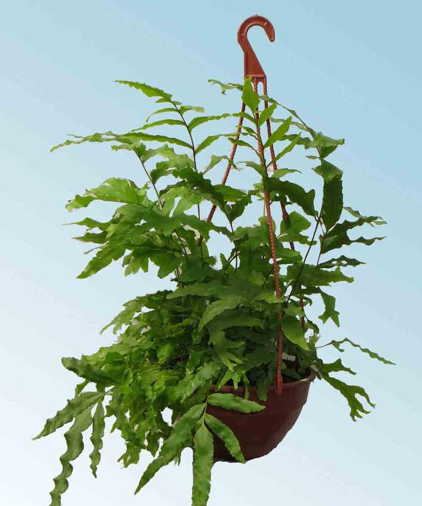 Polypodium comprar en vivero online for Vivero plantas online