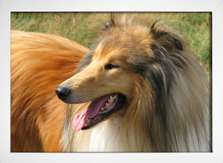 Collie na internet
