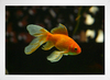 Goldfish na internet