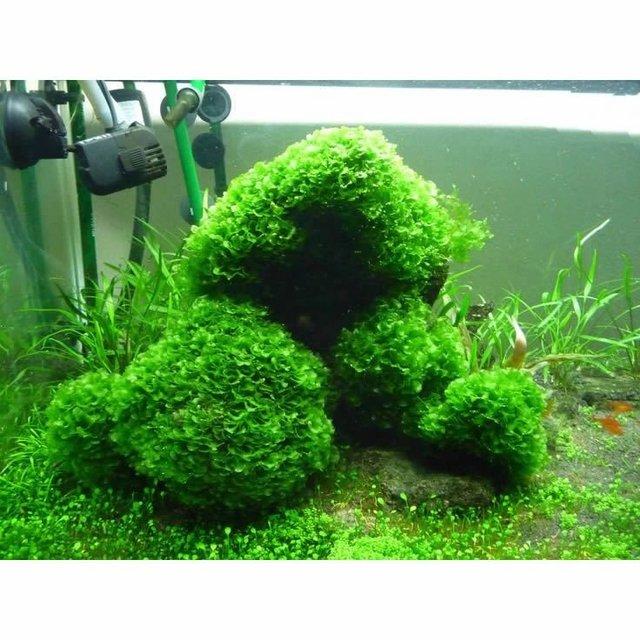 Plantar Musgo. Latest Cmo Plantar Musgo De Irlanda With Plantar ...