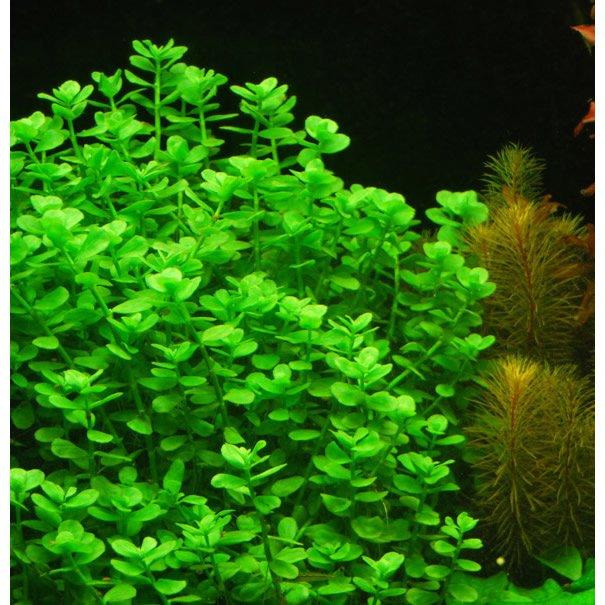 Planta natural para acuario bacopa monnieri x 4 tallos for Plantas de acuario