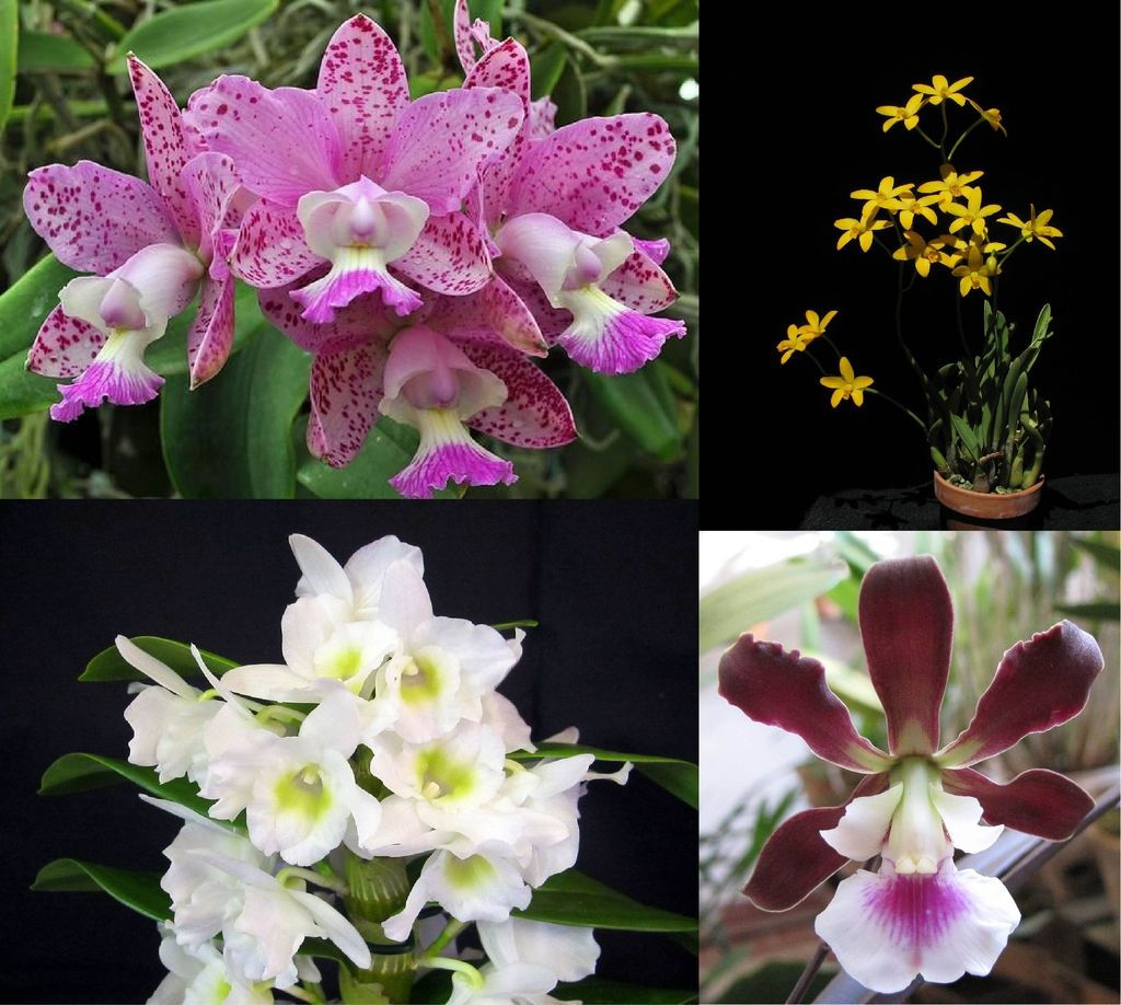 Kit 4 Orquídeas4
