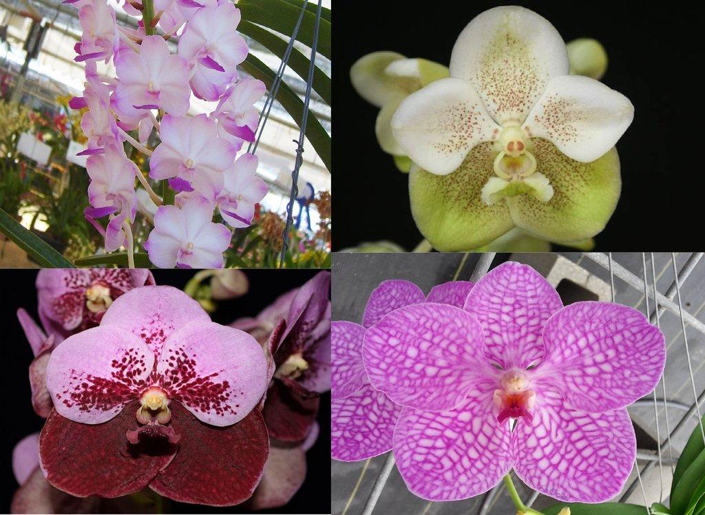 Kit 4 Orquídeas6