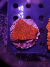 Goniopora ultra red