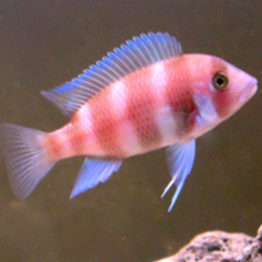 cyphotilapia frontosa red 8cm
