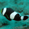 amphiprion saddleback 5cm
