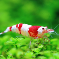 caridina cf red crystal