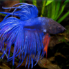 betta crowntail azul
