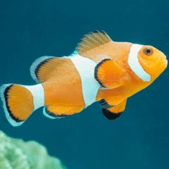 Amphiprion ocellaris (s)