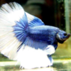 betta macho super delta