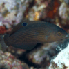 halichoeres marginatus