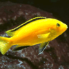 loimon full yellow 4 cm