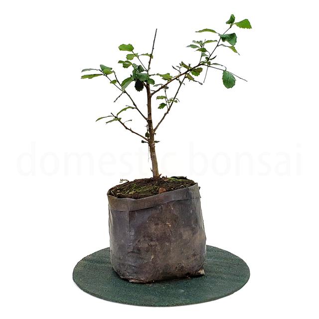 Glicine bonsai - Piante bonsai - Coltivazione glicine bonsai