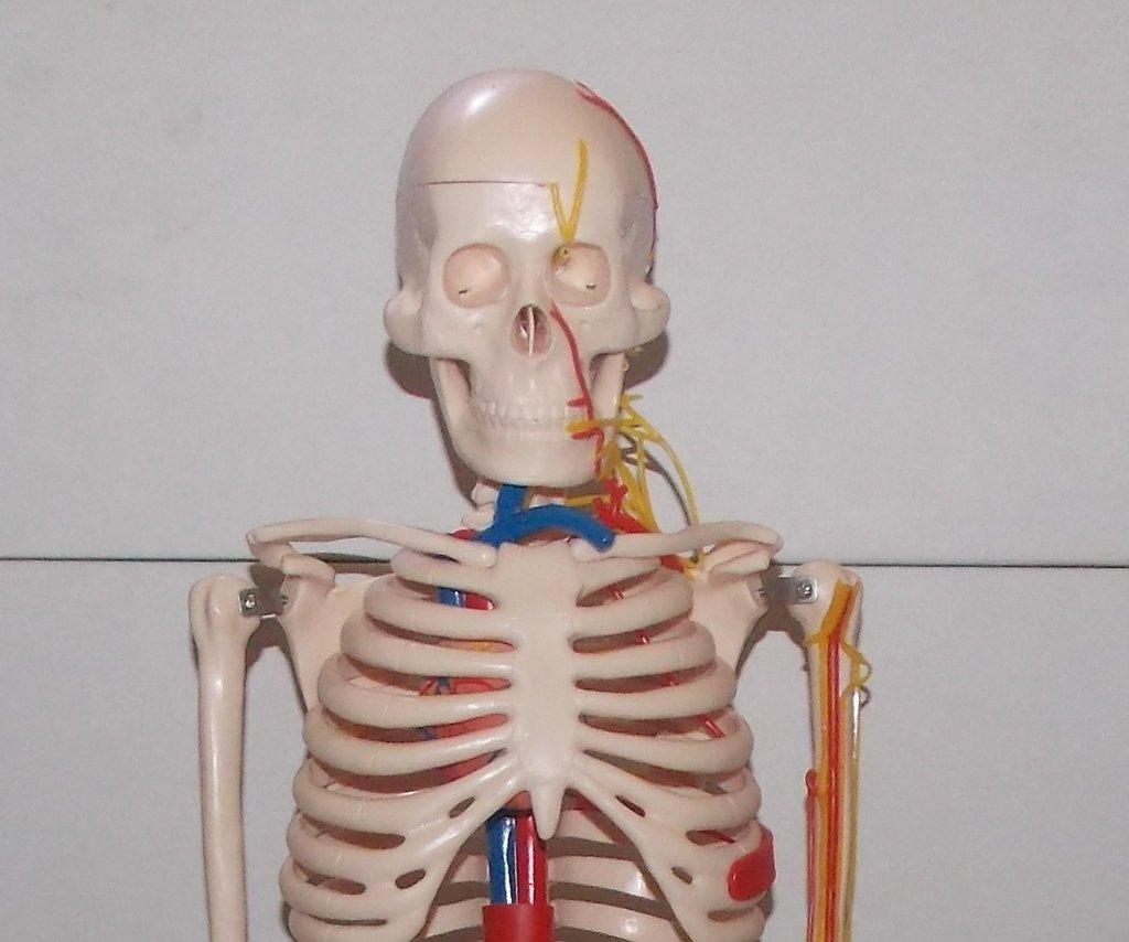 Modelo de esqueleto humano media escala