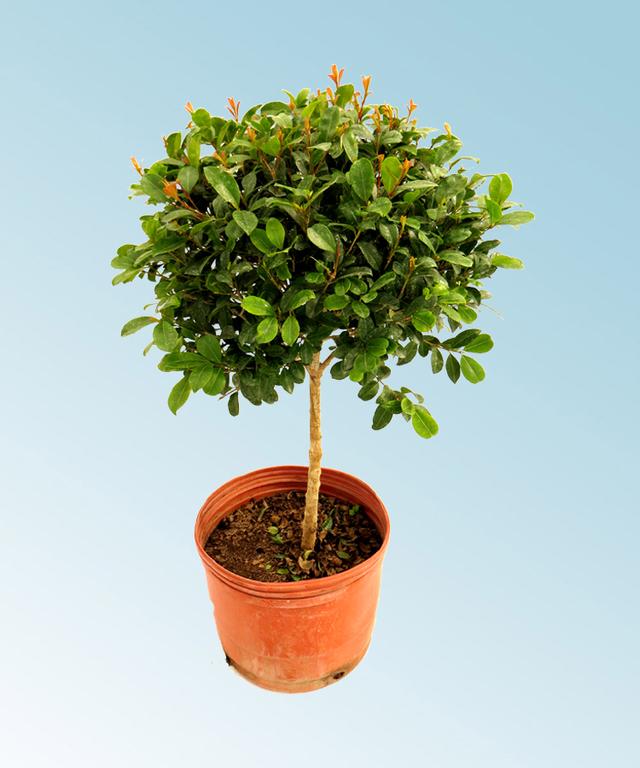 Eugenia copa comprar en vivero online for Vivero plantas online