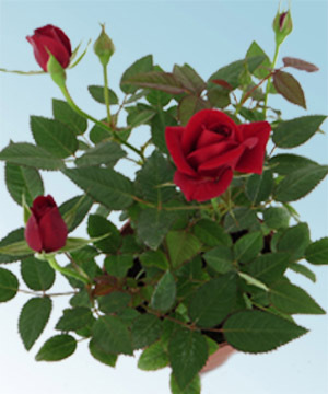 Mini rosa comprar en vivero online for Vivero plantas online