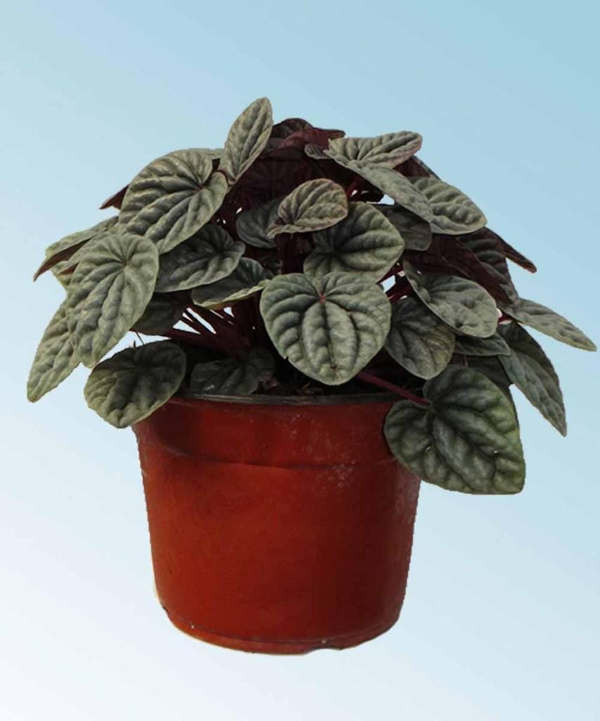 Peperomia comprar en vivero online for Vivero plantas online