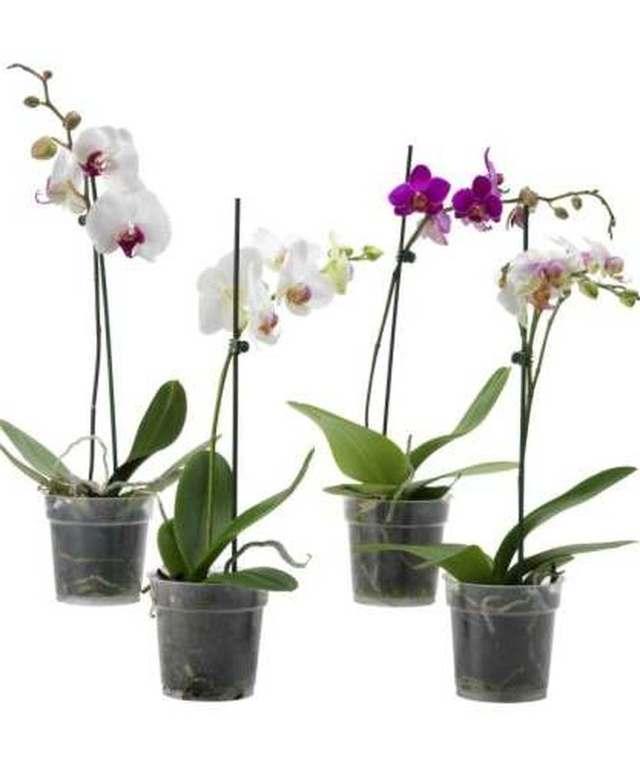 Phaleanopsis comprar en vivero online for Vivero plantas online