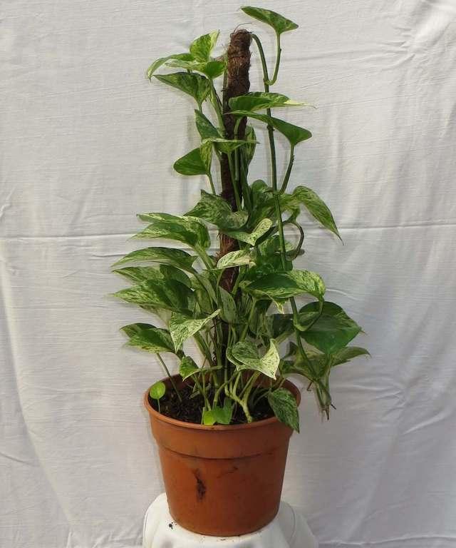 Pothus con tutor comprar en vivero online for Plantas de interior online