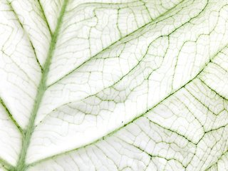 Caladio bicolor (blanco - verde) en internet