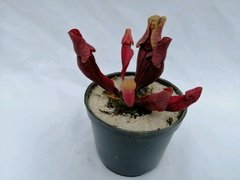 Sarracenia purpurea red (Matera negra 10 cm)