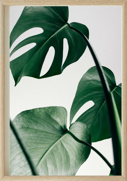 MONSTERA COLOR | 70x100 cm.