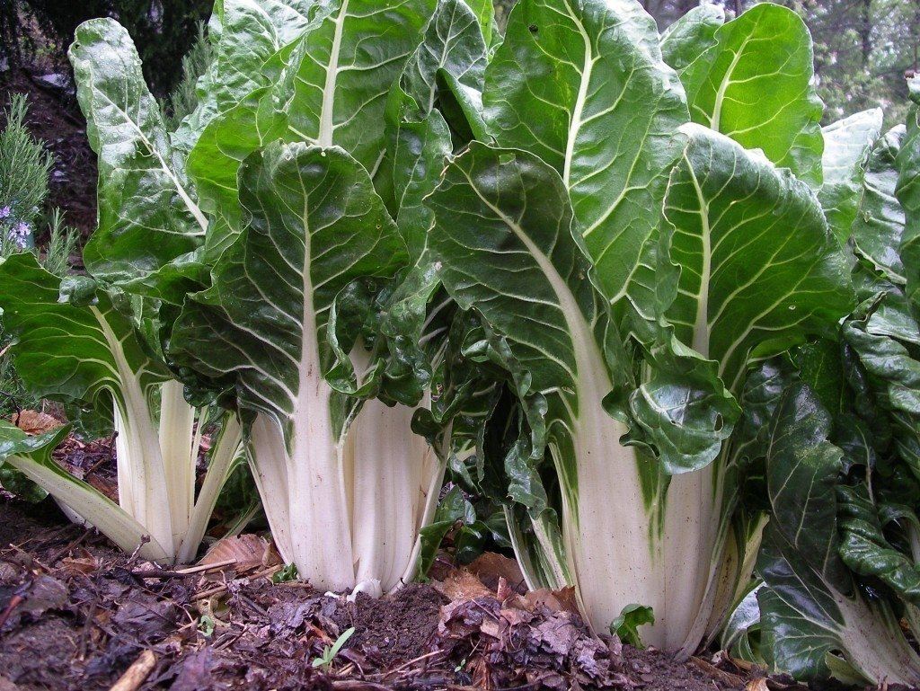 Acelga Agroecológica