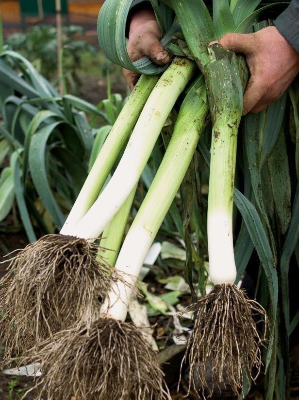 Ajo Puerro Agroecológico