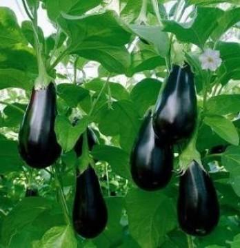 Berenjena Agroecológica