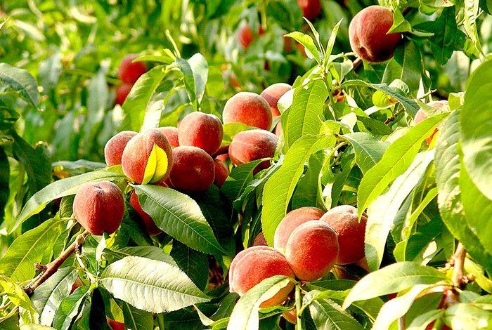 Duraznos Agroecológicos