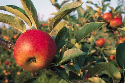 Manzanas Rojas Orgánicas