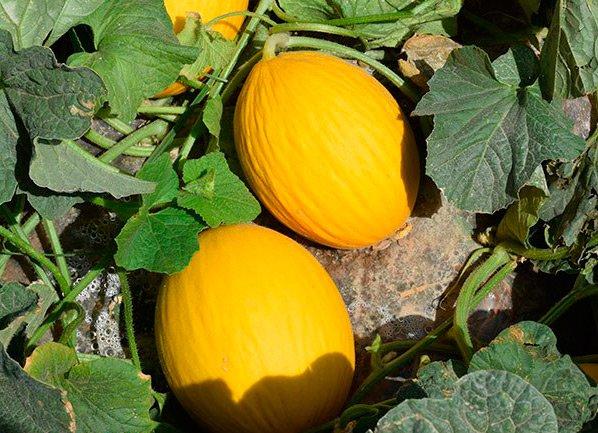 Melones Orgánicos