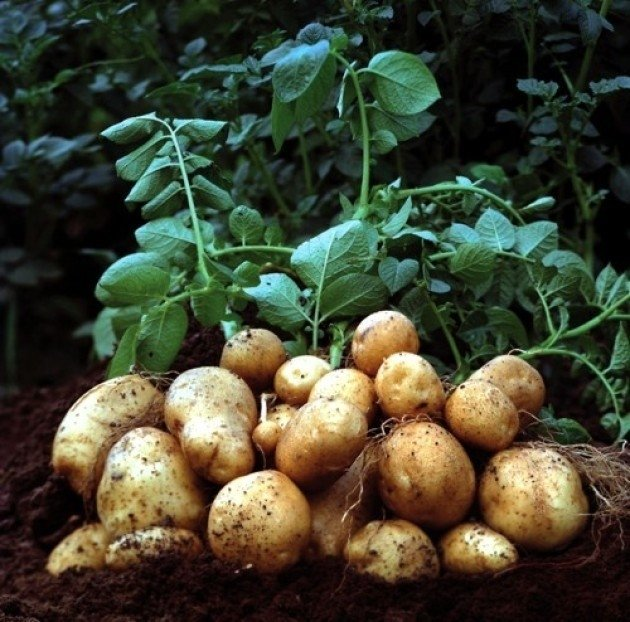 Papa Blanca Agroecológica