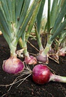 Cebolla de Verdeo Agroecológica
