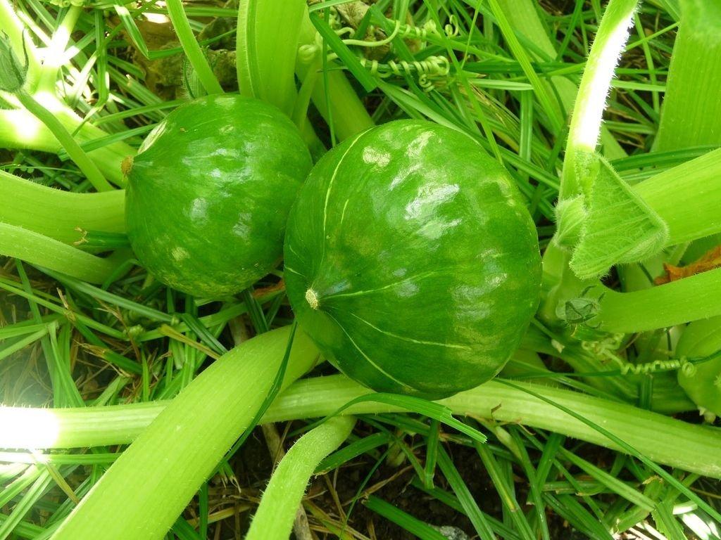 Zapallito Verde Agroecológico
