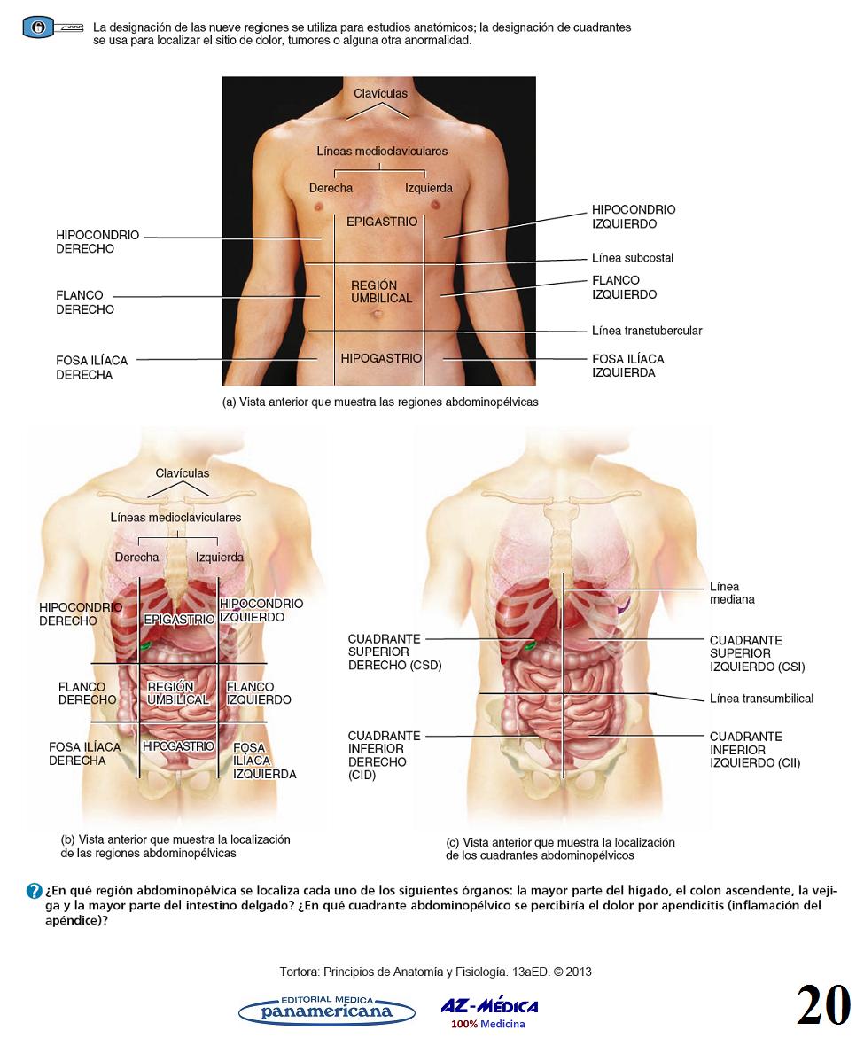 Excelente Divisiones Abdominales Anatomía Cresta - Imágenes de ...