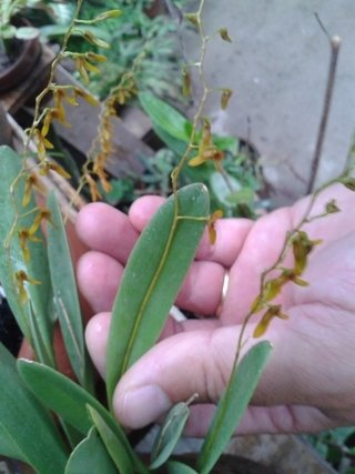 Pleurothallis alligatorifera