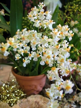 Oncidium Twinkle 'Fragrance Fantasy'