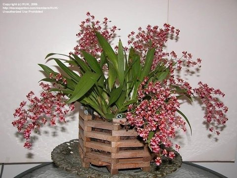 Orquídea Oncidium Twinkle Red