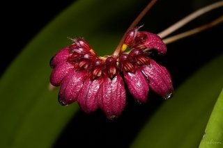 bulbophyllum corolliferum