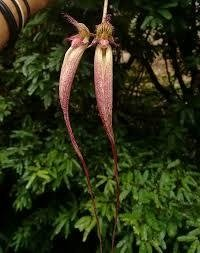 Bulbophyllum fascination