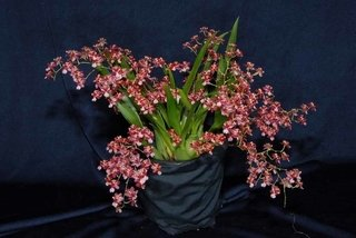 Orquídea Oncidium Twinkle Red na internet