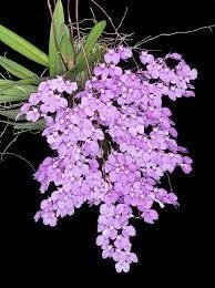 Ionopsis paniculata - comprar online